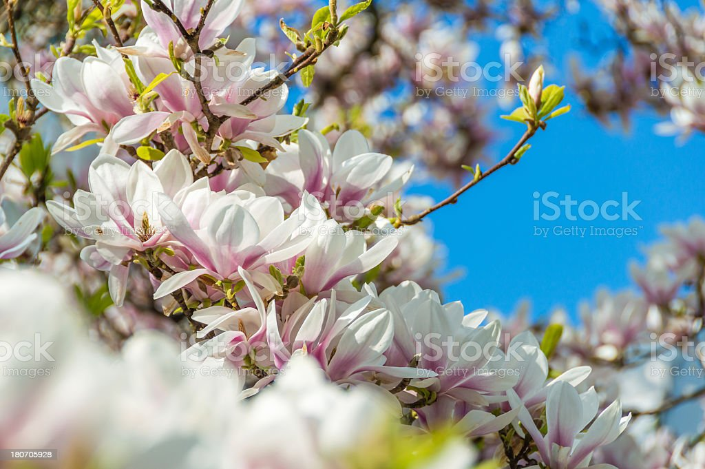 Pink Magnolias against a Blue Spring Sky royalty-free stock photo