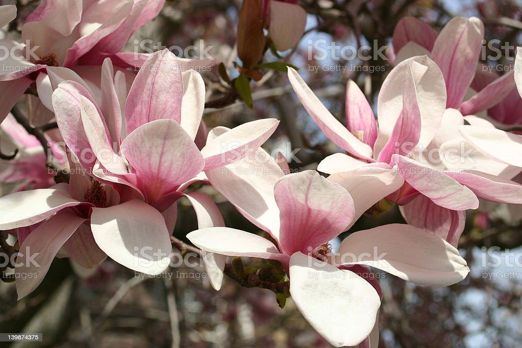 Pink Magnolias Close Up royalty-free stock photo