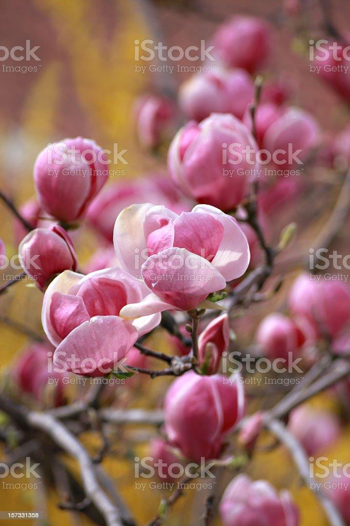 pink magnolias stock photo
