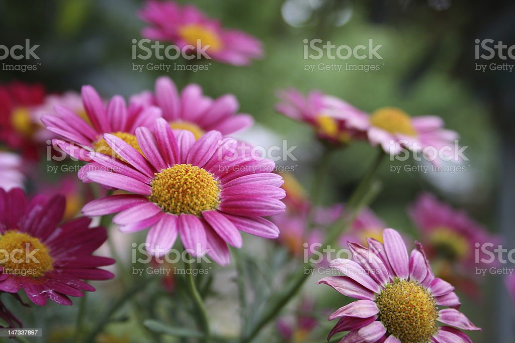 Pink Maguerite stock photo