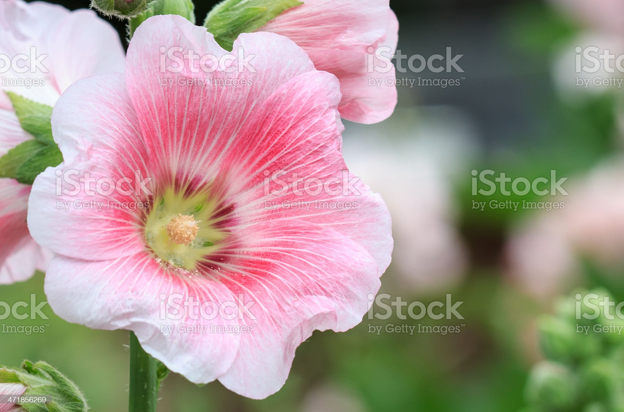 Pink mallow in Blurred Background, Hollyhock, Alcea rosea, Closeup royalty-free stock photo