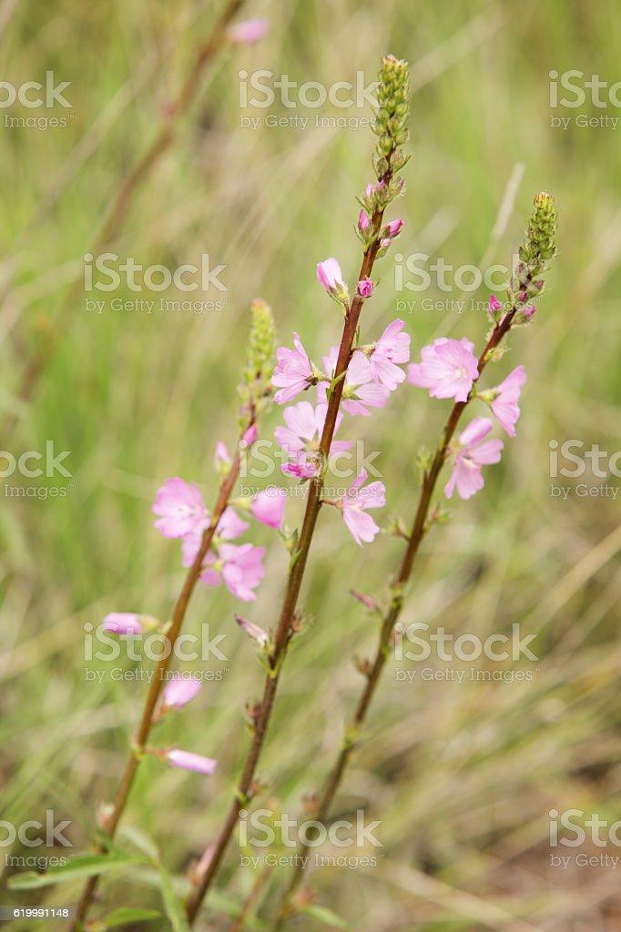 Pink Mallow Malvaceae Wildflower Stalks stock photo