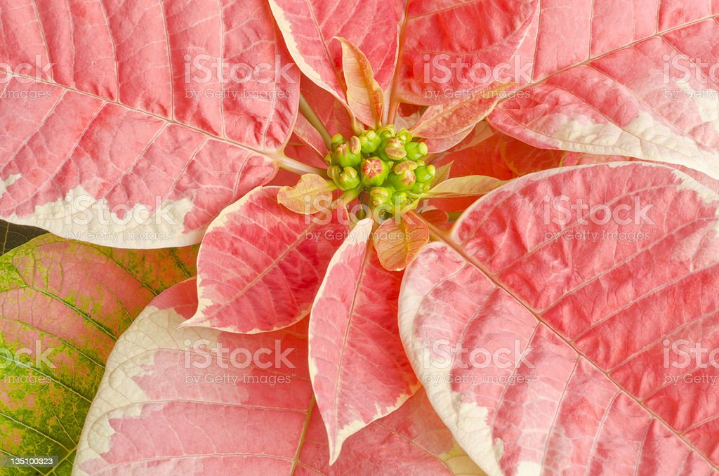 Pink Marble Poinsettia stock photo