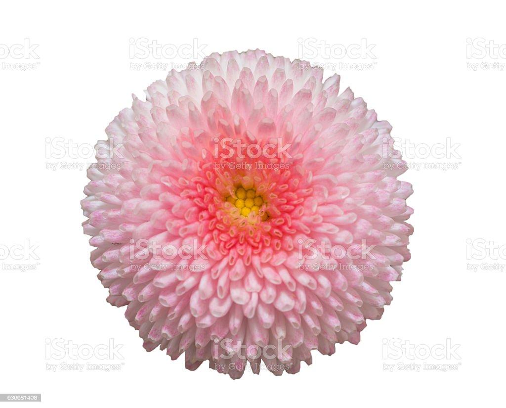 Pink marguerite daisy flower isolated on white background. stock photo