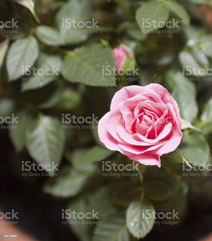 Pink miniature rose Floribunda rosa stock photo