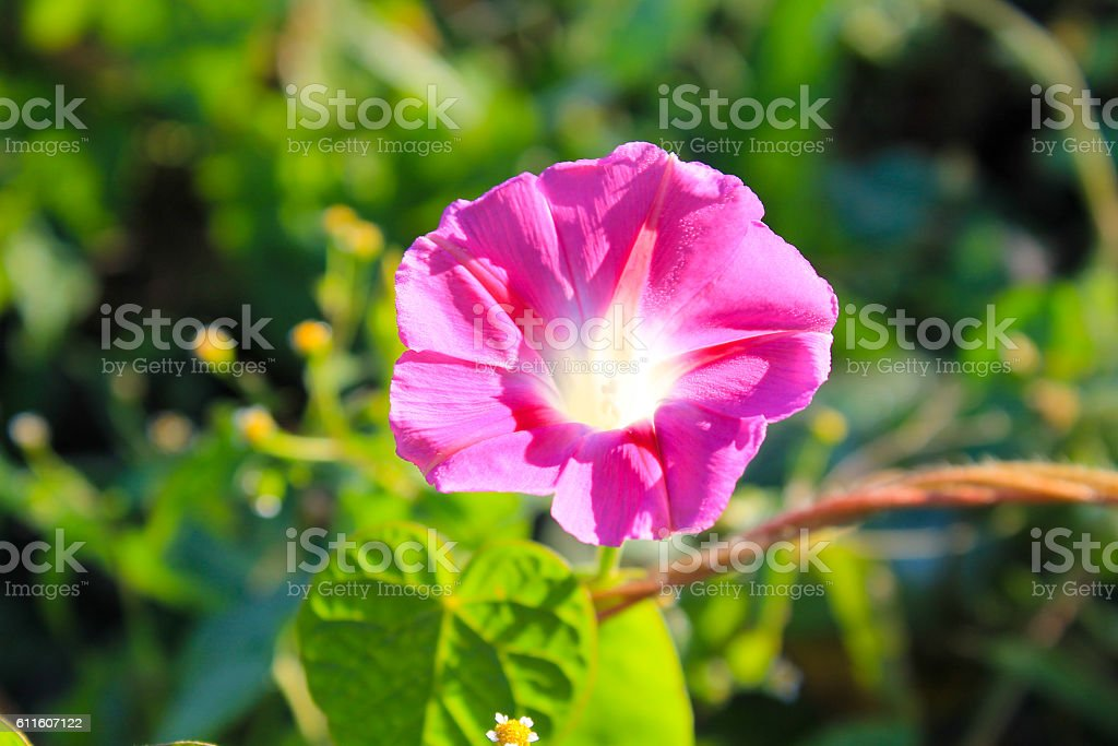 Pink morning glory in garden stock photo