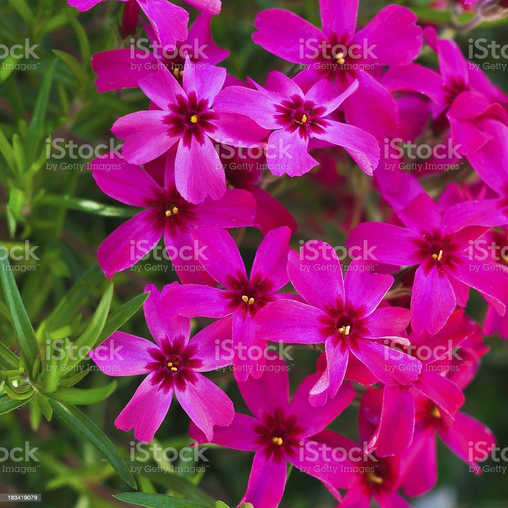 Pink Moss Phlox (Phlox subulata) - IV royalty-free stock photo