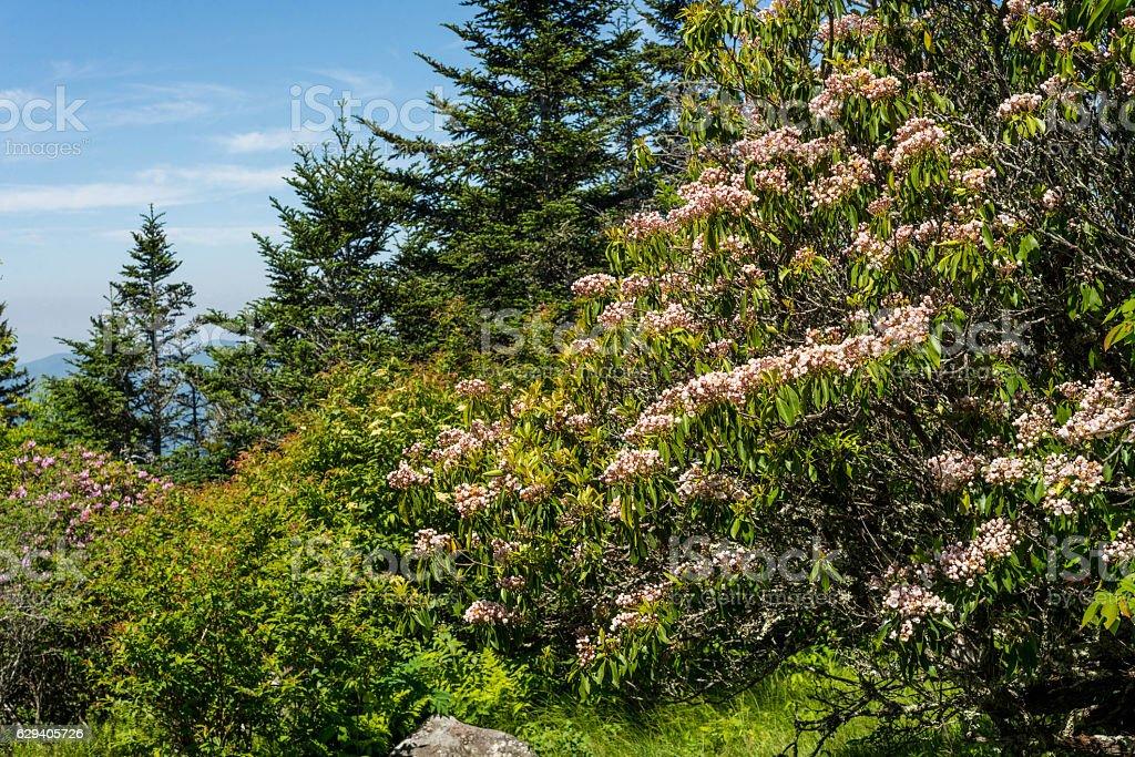 Pink mountain azalea in bloom stock photo