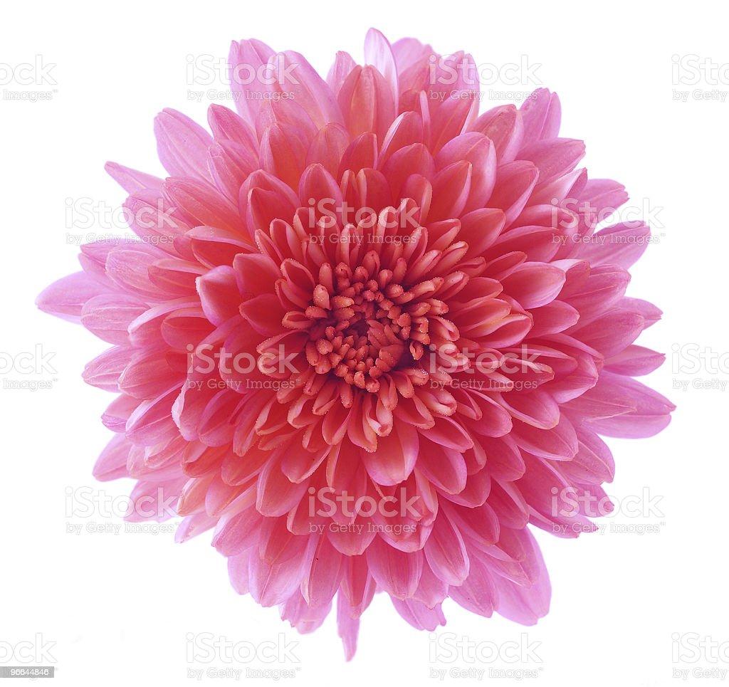 Pink Mum royalty-free stock photo