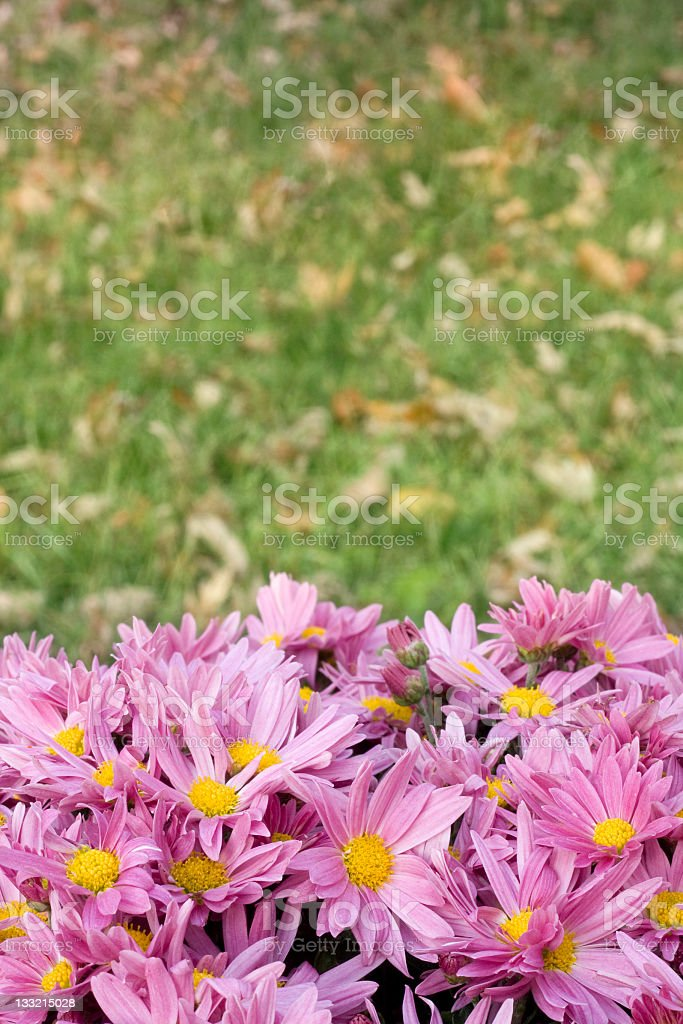 Pink Mums Background stock photo