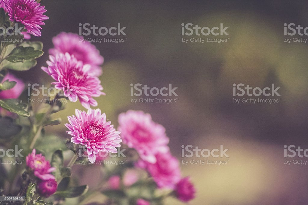 Pink Mums with Background for Copyspace royalty-free stock photo