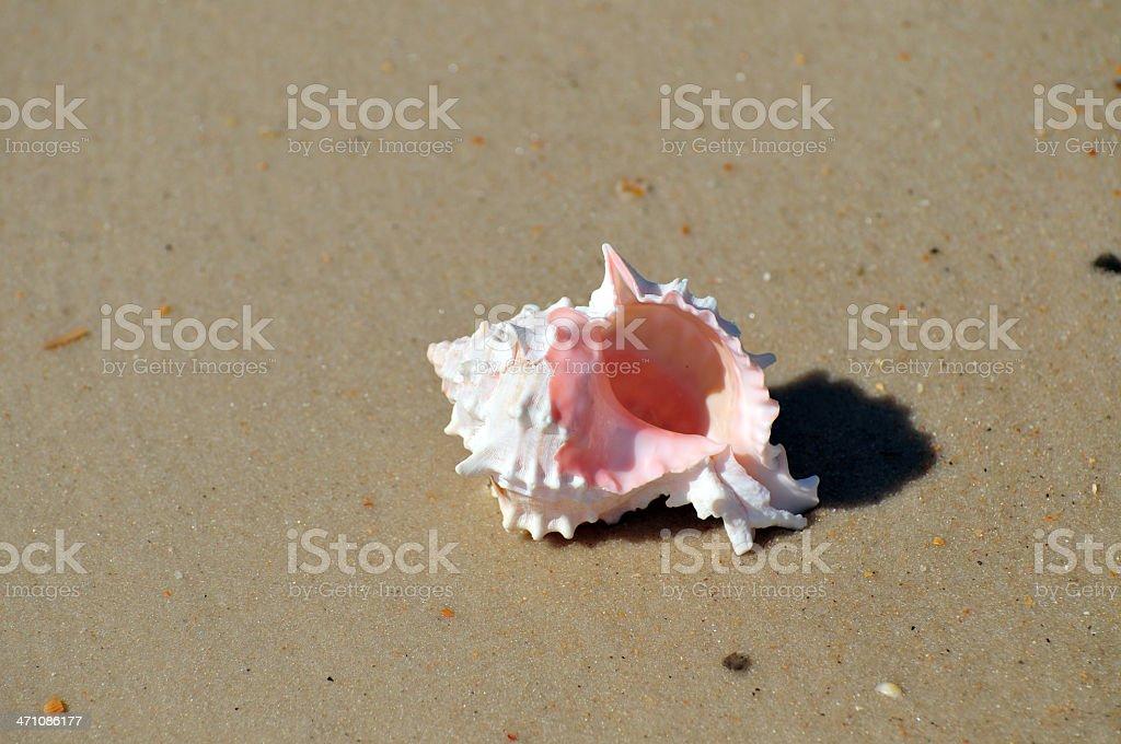 Pink Murex stock photo