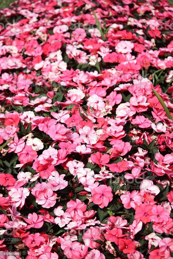 Pink New Guinea Impatiens stock photo