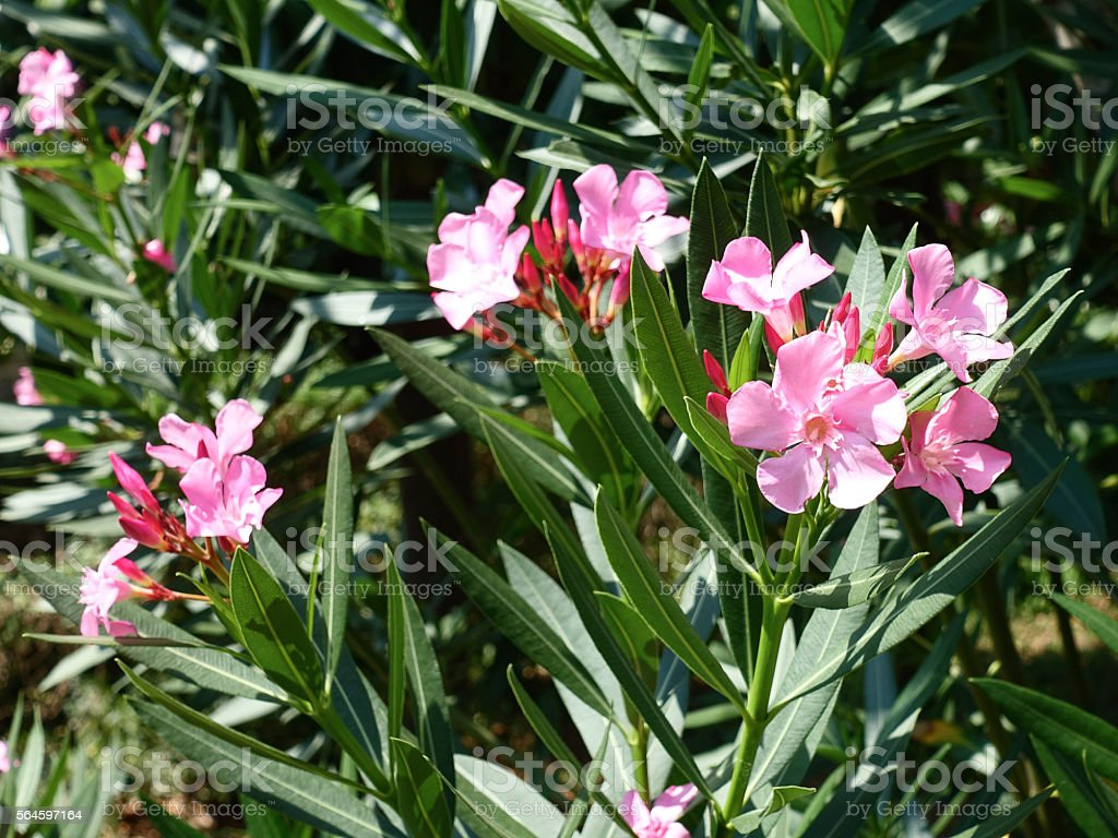 Pink Oleander blossoms stock photo