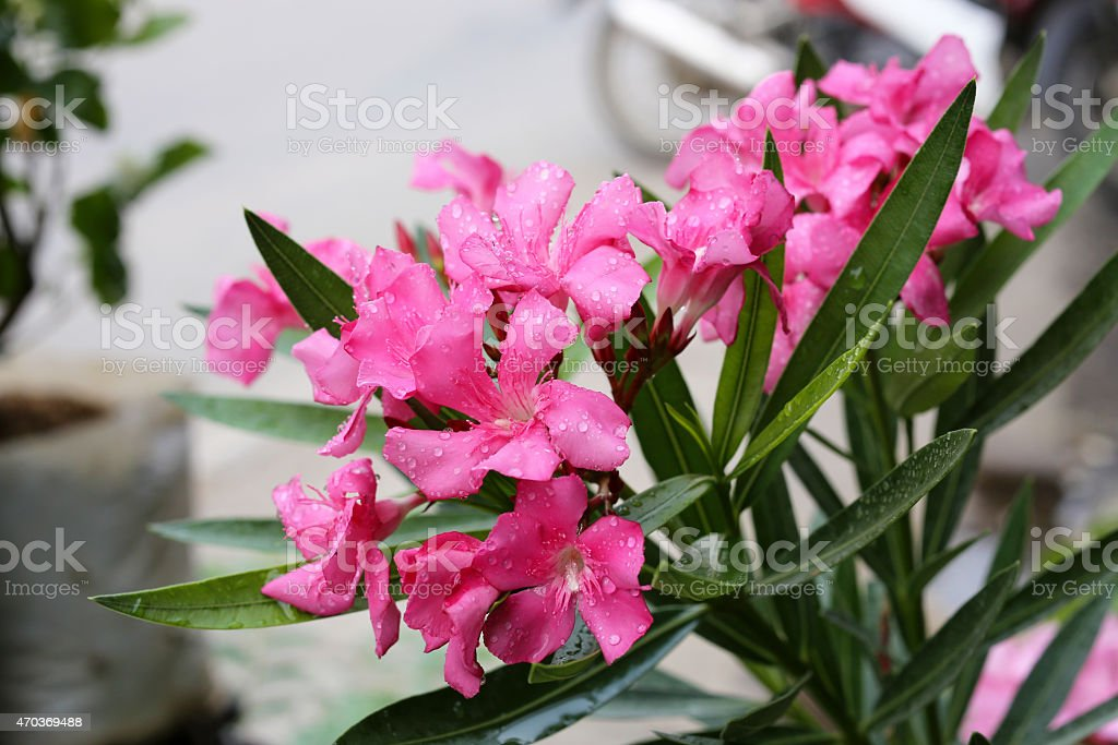 Pink Oleander flower blooming in flower pot stock photo