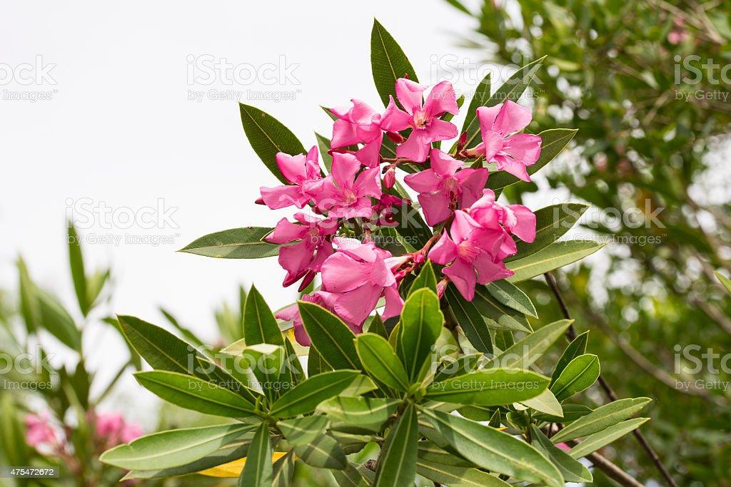 Pink Oleander flowers in the Algarve royalty-free stock photo