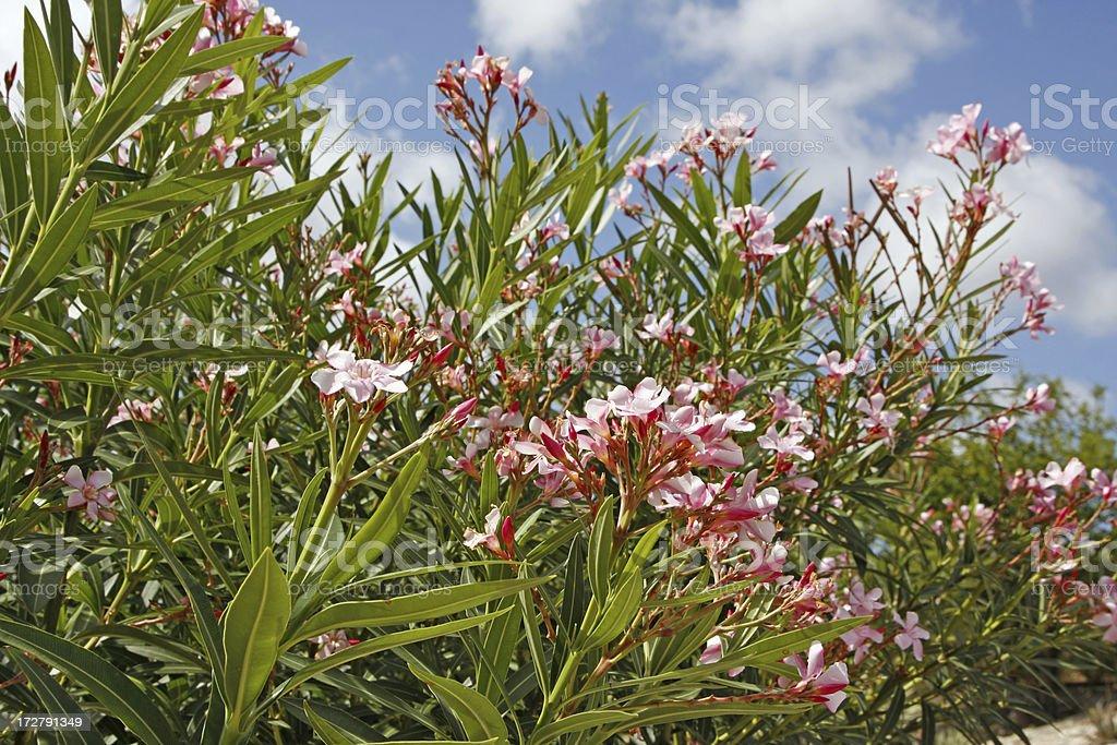 Pink oleander XL stock photo