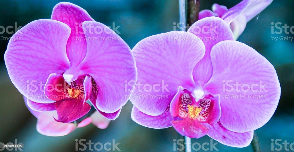 Pommiers en fleur rose photo libre de droits