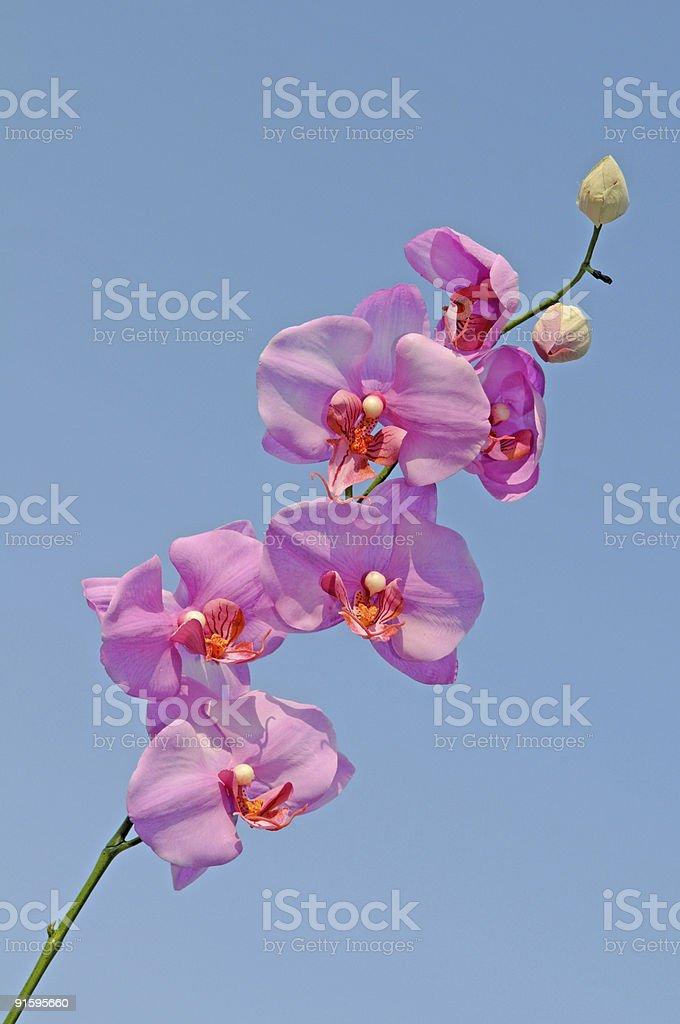 ORCHIDÉE ROSE contre un ciel bleu clair photo libre de droits