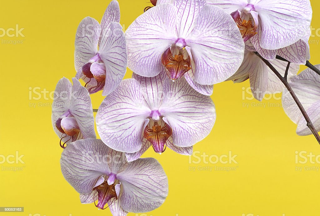 Pink Orchid against Yellow royalty-free stock photo