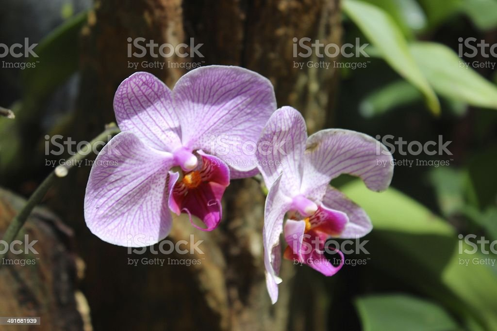 Pink Orchid at Xcaret Park, Mexico's sacred paradise royalty-free stock photo