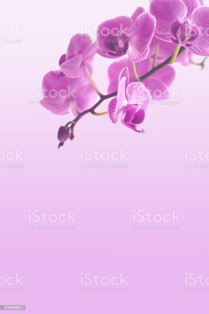 Pink orchid background stock photo