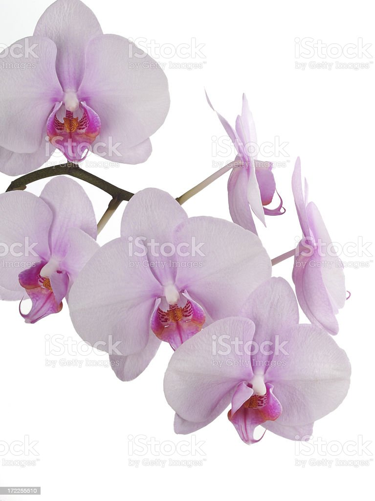 Pink orchid bloom Isolated on pure white background royalty-free stock photo