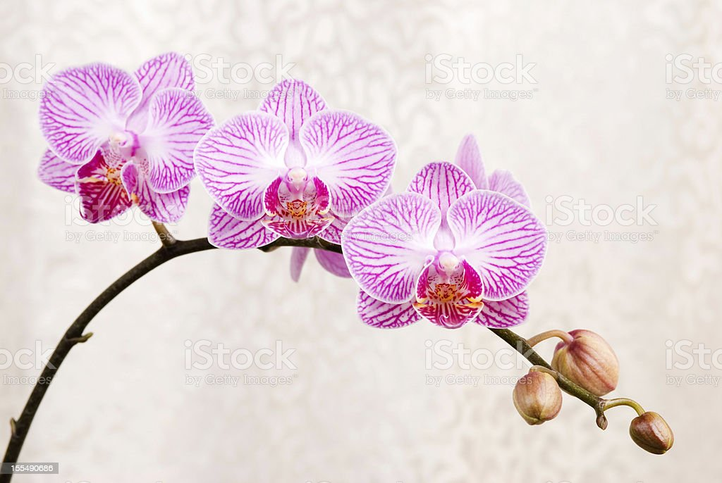 Pink orchid, blossoming phalaenopsis flower(phalaenopsis spp.) w royalty-free stock photo