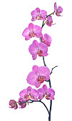 pink orchid composition