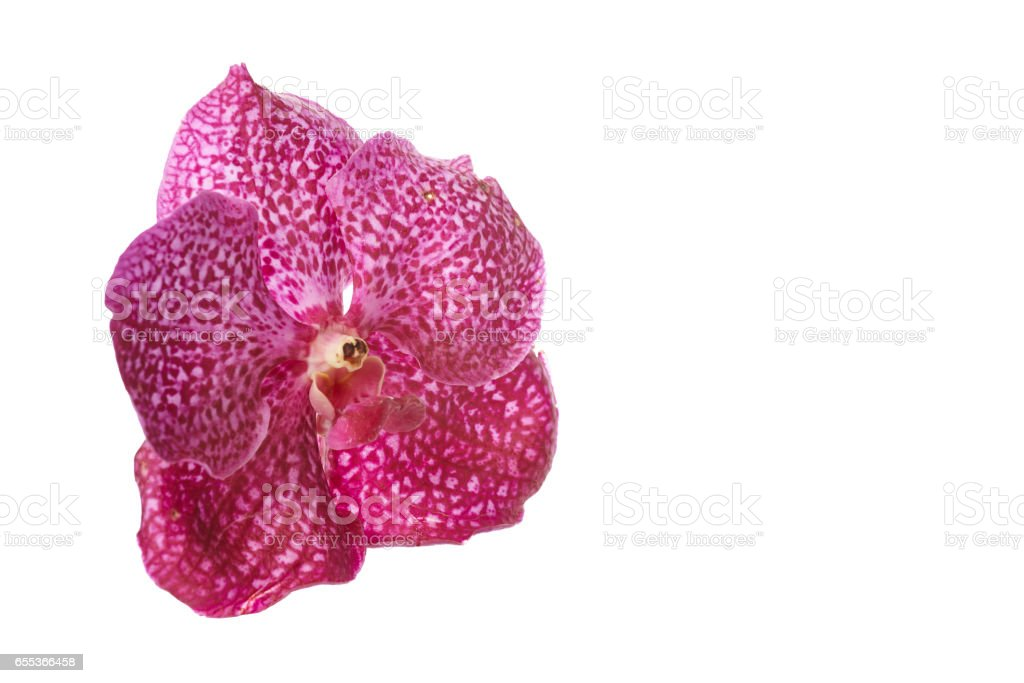 Pink orchid flower isolated on white background stock photo