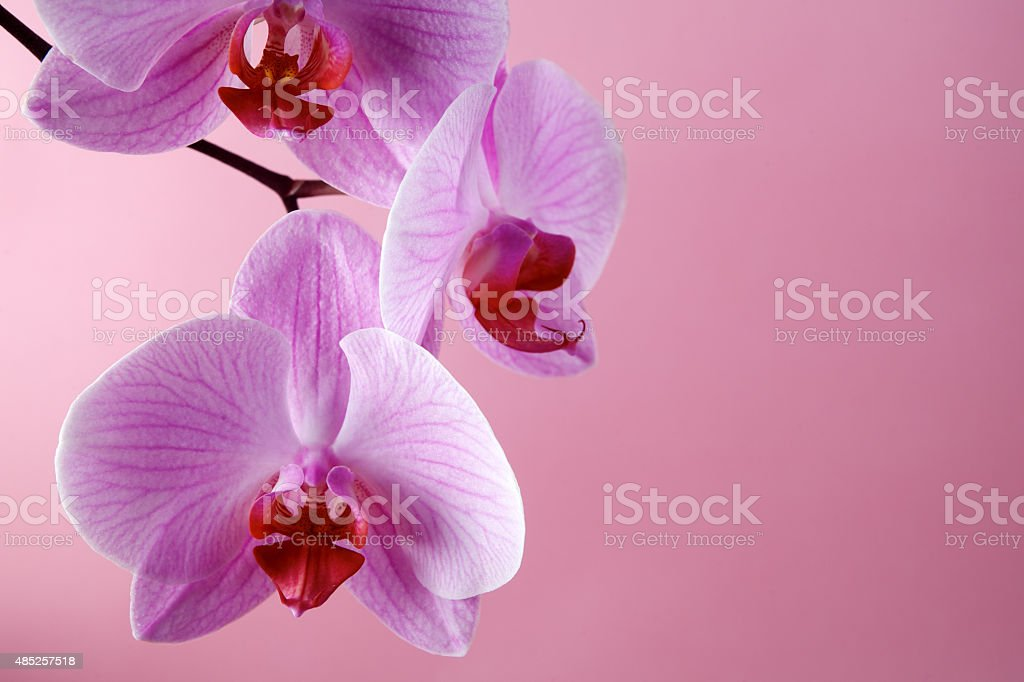 Pink orchid flowers on a pastel background stock photo