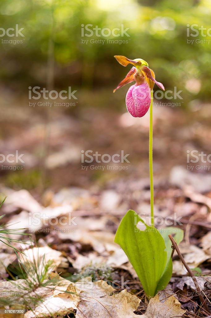 Pink Orchid in the Forest stock photo