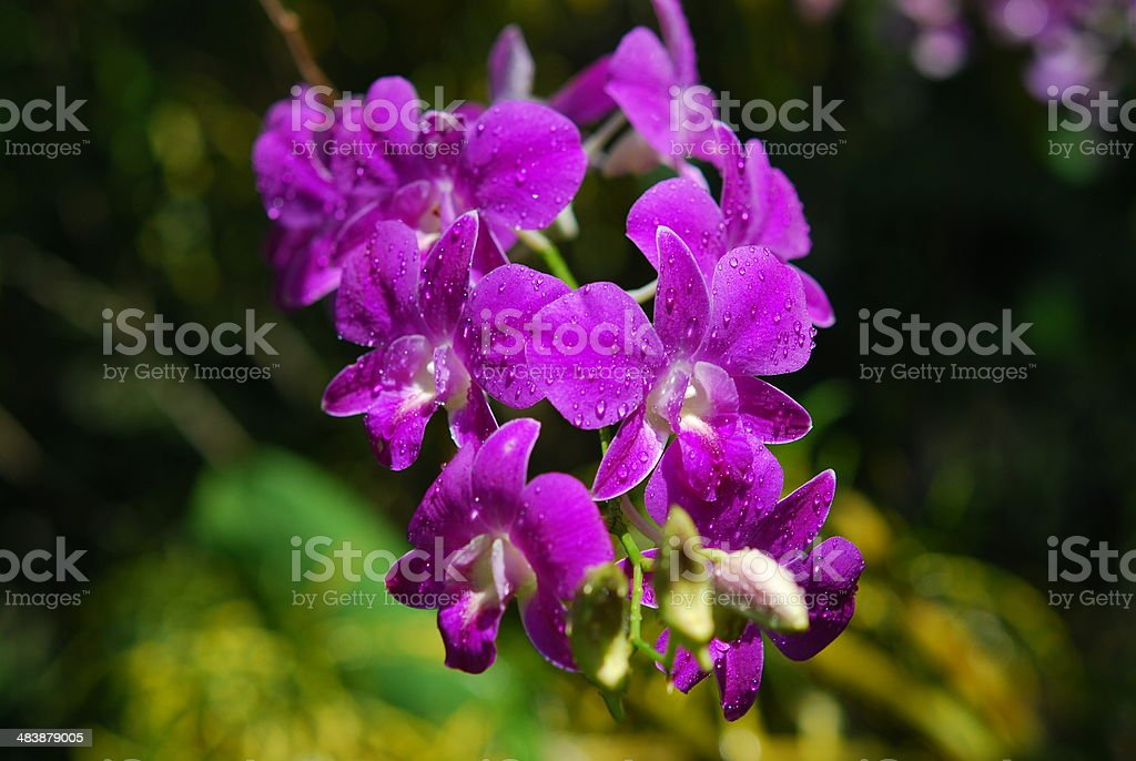 Pink Orchid  in the garden royalty-free stock photo