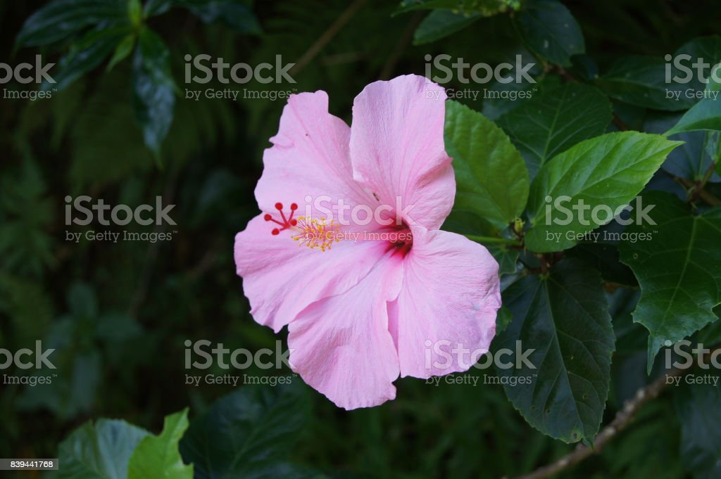 Pink Orchid Maui 2 stock photo