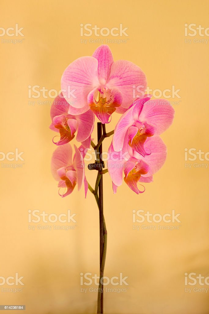 Pink orchid on beige background stock photo