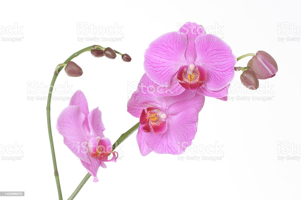 Pink orchid on white background royalty-free stock photo