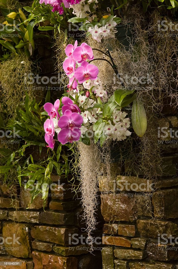 Pink Orchids and Spanish Moss royalty-free stock photo