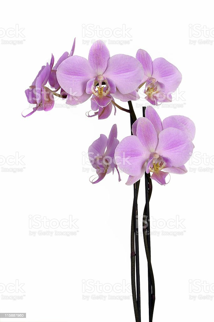 Pink orchid's branch royalty-free stock photo