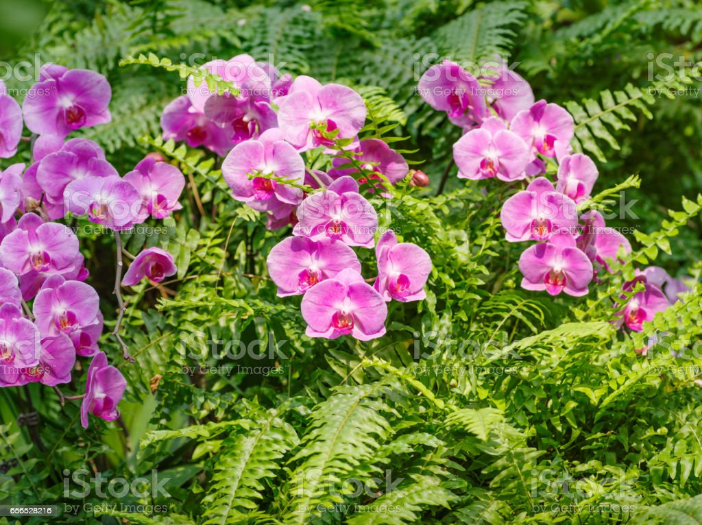 Pink  orchids in garden. stock photo