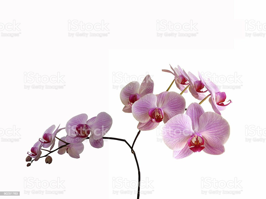 Pink orchids isolated royalty-free stock photo