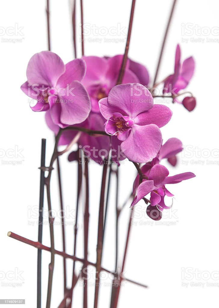Pink orchids on white royalty-free stock photo