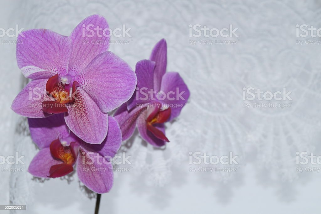 Pink orchids stock photo
