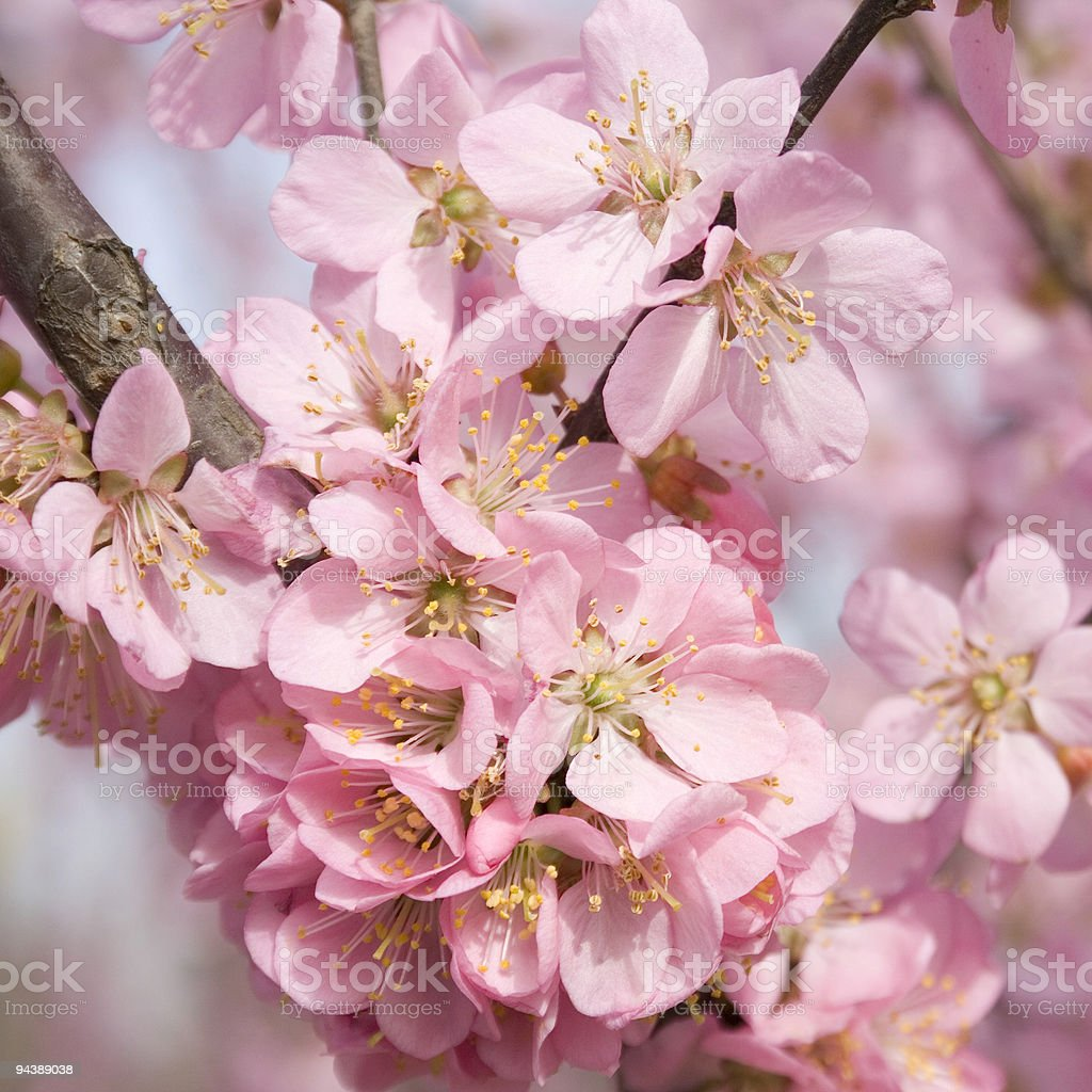 pink oriental cherry blossoms royalty-free stock photo