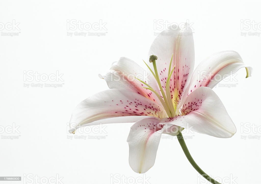 Pink oriental lily stock photo