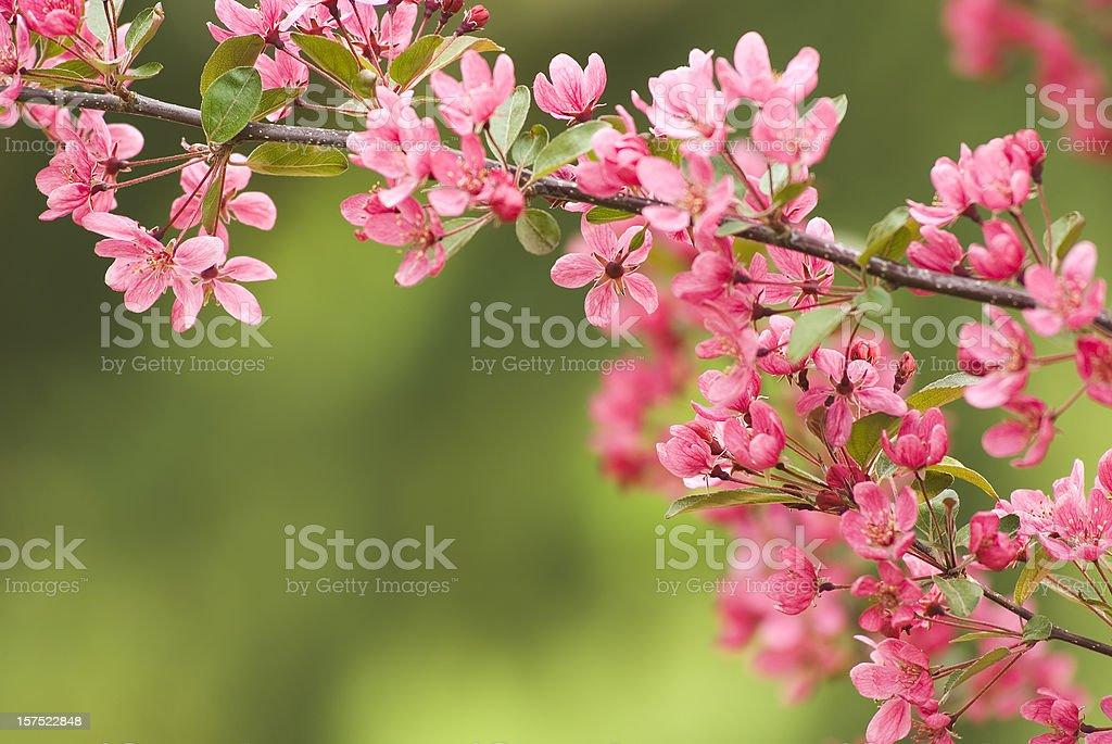 Pink ornamental cherry tree royalty-free stock photo
