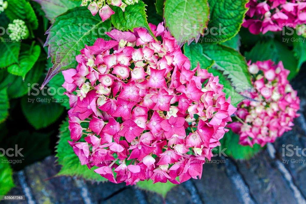 Pink ornamental  flowers stock photo