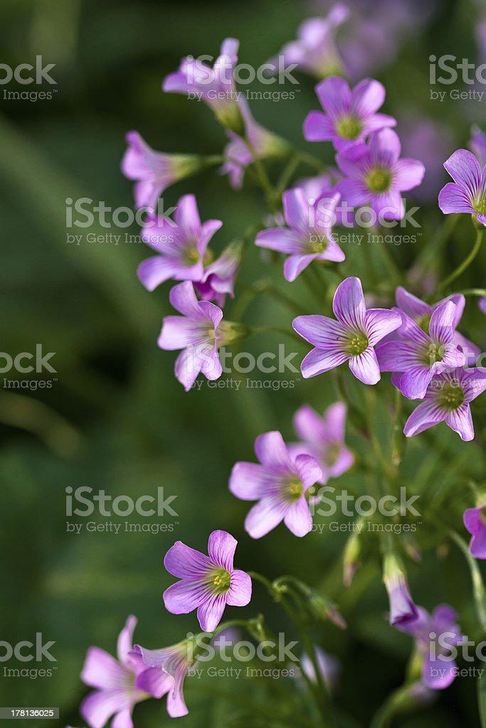 Pink oxalis corymbosa in garden stock photo