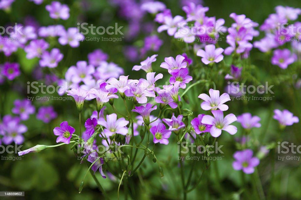 Pink oxalis(Oxalis corymbosa) in garden stock photo