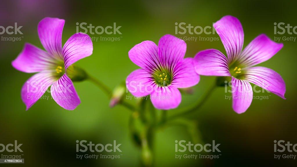 Pink oxalis oxalis corymbosa stock photo