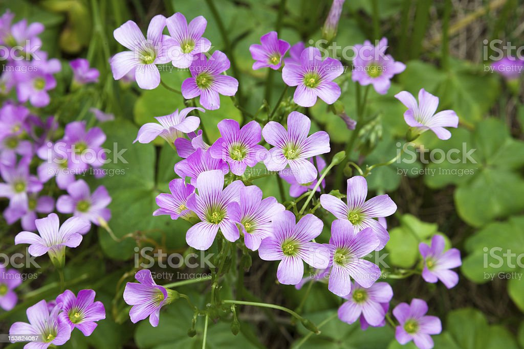 Pink oxalis(Oxalis corymbosa) stock photo